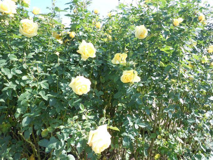 幾何学模様が美しい本格的なフランス式庭園で見る!一押しのバラ