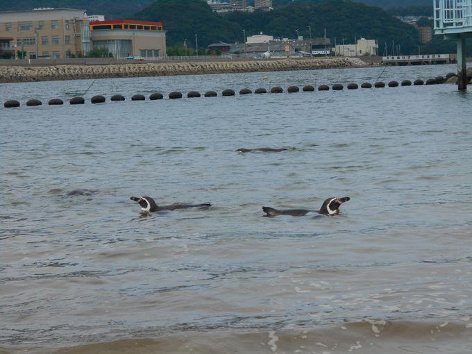 見たことないっ!世界初の試みの「ふれあいペンギンビーチ」
