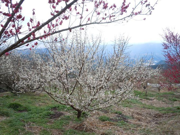 春の香りを満喫!花の香りも堪能できる、のどかな梅園