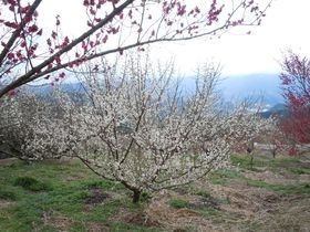 1500本の梅が咲き誇る!伊豆・月ヶ瀬梅林「梅まつり」