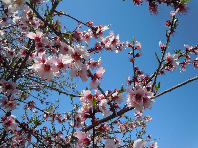 【番外編】桜にそっくり!レアで珍しいアーモンドの花
