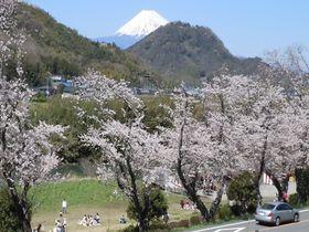 名物の枝垂れ桜から伝説の美女桜まで!伊豆の国市の桜名所3選