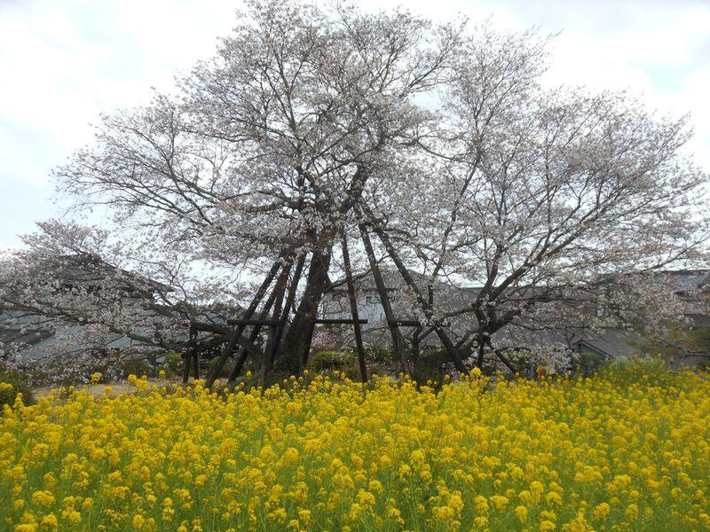 日本五大桜・狩宿の下馬桜で春の宴を堪能!富士宮市「狩宿さくらまつり」