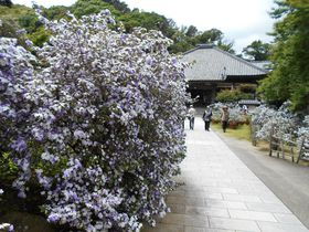 1000株のアメリカジャスミンが咲き誇る!下田・了仙寺「香りの花まつり」