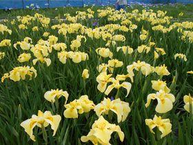 60種類約1万2千株が咲き誇る!伊豆「かわづ花菖蒲園」