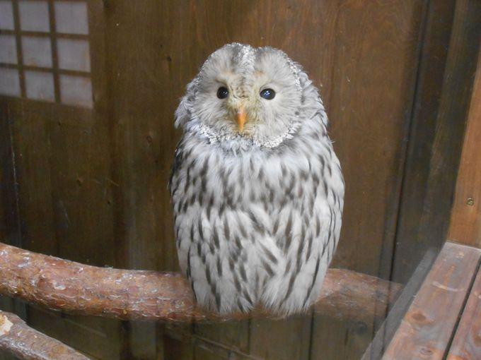 個性豊かなフクロウを一堂に見られる!フクロウ展示室