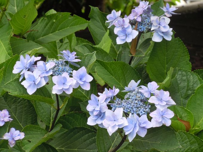 変わり種の紫陽花なら「伊豆四季の花公園」