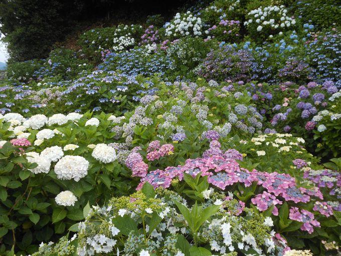 国道沿いで見られる紫陽花の新名所!三島市「アジサイの丘」