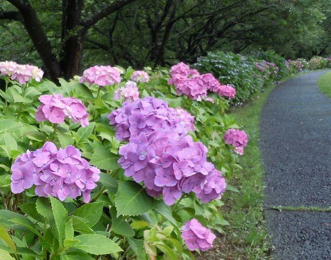 桜の名所で観る!那賀川沿い3kmに渡るロ〜ングな紫陽花の見所