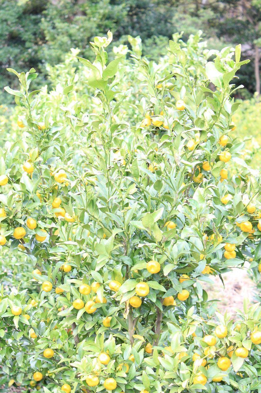 聖なる木として神聖視された!戸田が北限の貴重な橘の果実