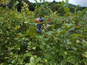 夏限定!伊豆の秘境でフルーツ狩り「河津ブルーベリーの里」