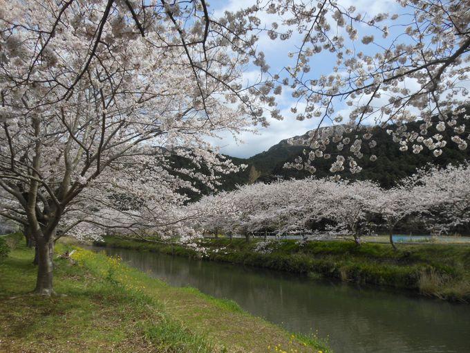 4月上旬は桜並木と一緒に!更にバージョンアップした眺めをどうぞ