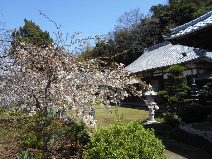 知られざるオンリーワン!の桜が咲く「最福寺」