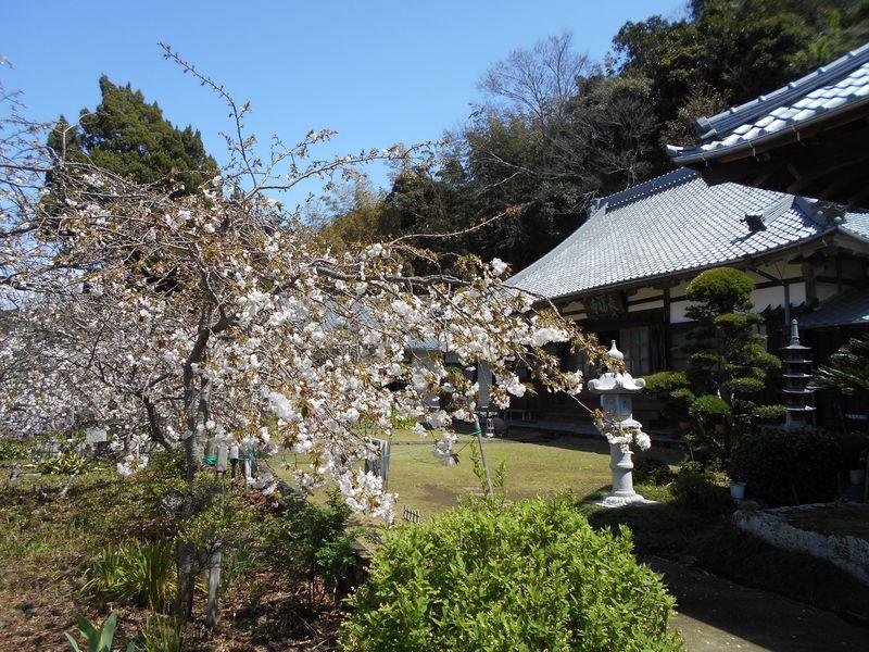 八重咲きのしだれ桜が見られる!伊豆市「最福寺のしだれ桜」