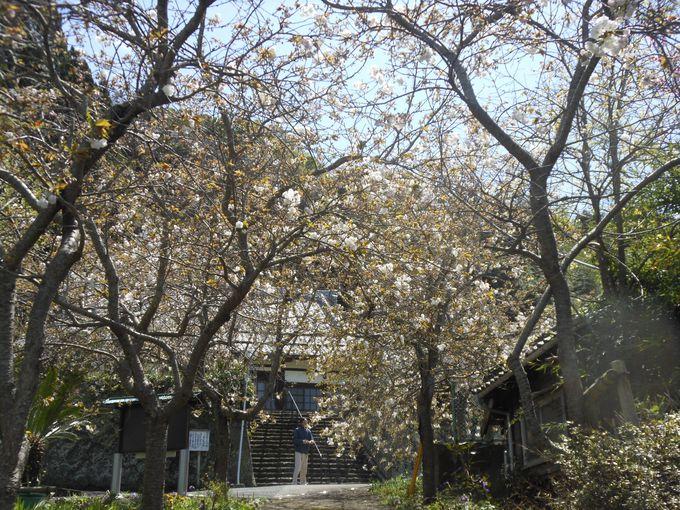 特徴は垂れ下がった枝に沢山の花!珍しい八重咲きのしだれ桜