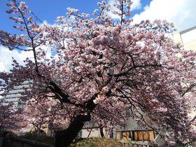 早春の梅&あたみ桜をダブルで楽しめる!熱海の花見所へ