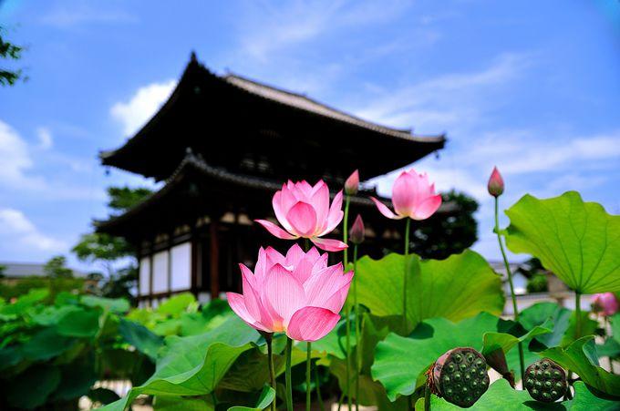 奈良の蓮の名所といえばここ!「試みの大仏殿」で有名な行基さんの古刹『喜光寺』