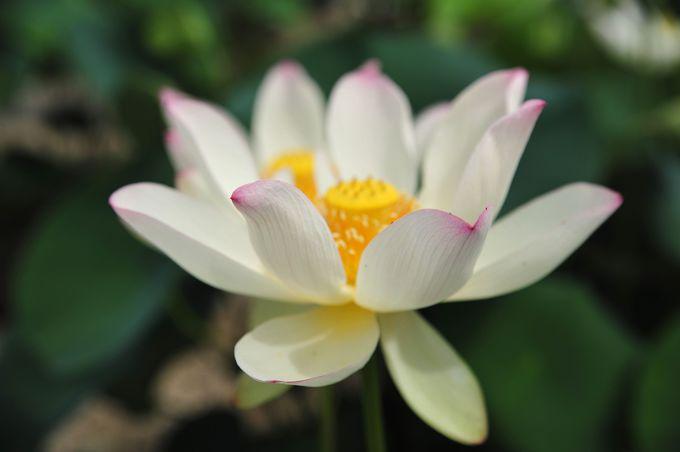 午前中に蓮の花を!早起きは三文の得!