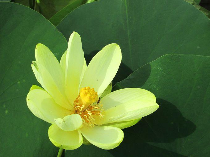 東大寺のご縁が繋ぐ蓮!珍しい蓮の花がいっぱい!