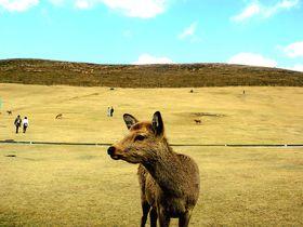 奈良にシカない!若草山「鹿せんべい飛ばし大会」は激ゆる〜イベント!