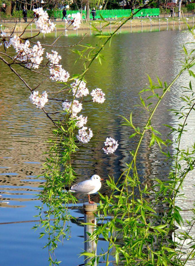 〈早朝お花見を楽しむポイント2〉お花見がてらバードウォッチングも楽しもう!