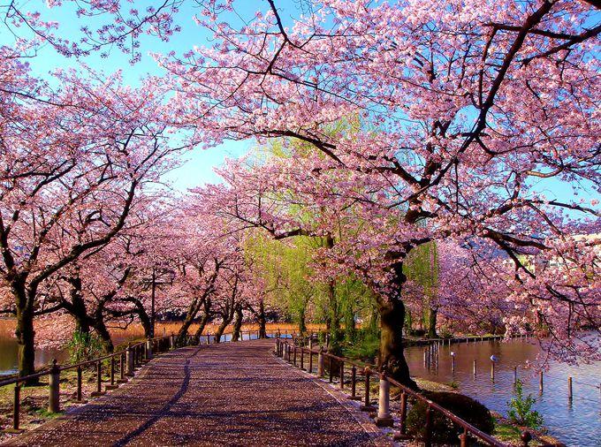 東京の桜の名所といえばココ!お花見の激戦区「東京・上野公園」