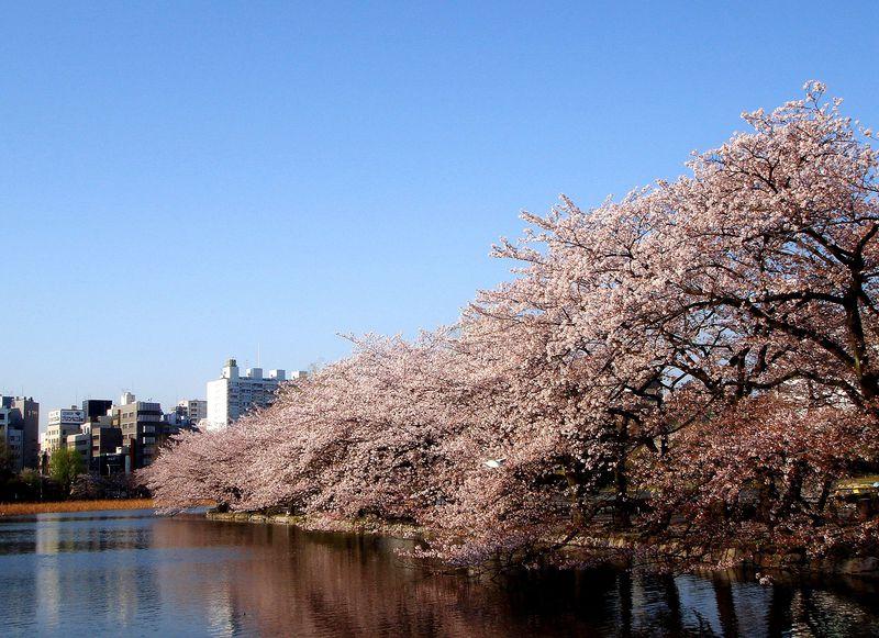〈早朝お花見を楽しむポイント3〉不忍池弁天堂側からお花見してみよう!
