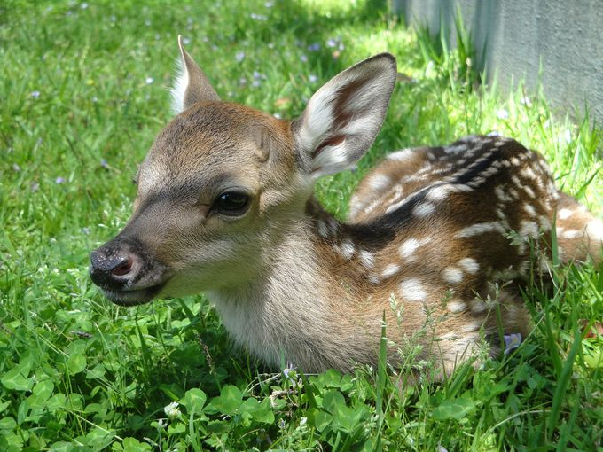つぶらな瞳にキュン♪今シカ会えない超可愛い子鹿たち