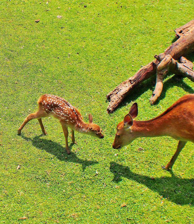 奈良の鹿トリビアいっぱい!もっと子鹿&母鹿や奈良の鹿の魅力を知るために