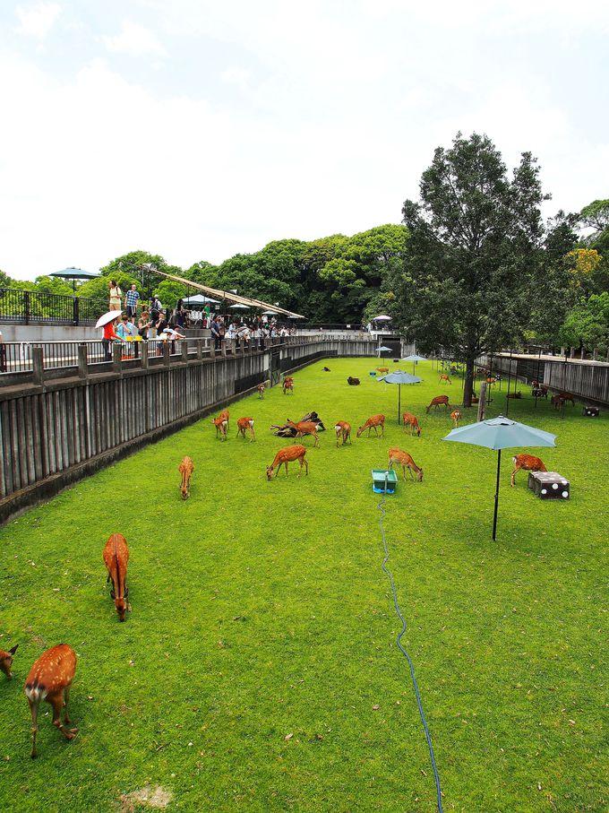 年に2度の期間しか一般公開されない鹿苑「子鹿公開会場エリア」