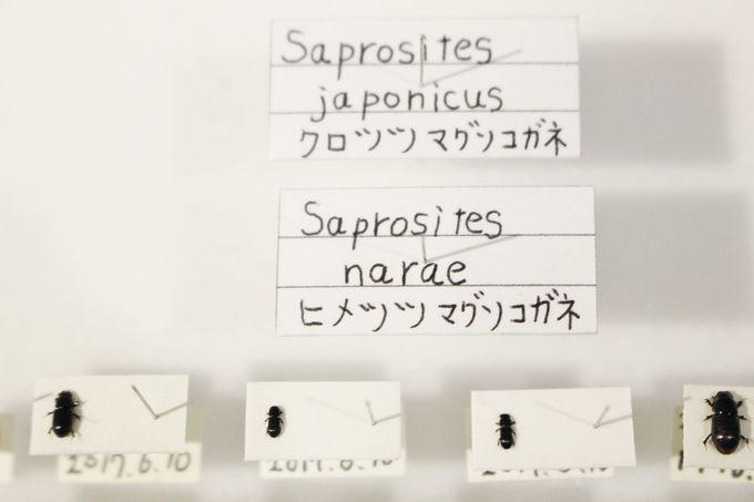 フン虫王子・館長の中村さんのおススメ糞虫ベスト3