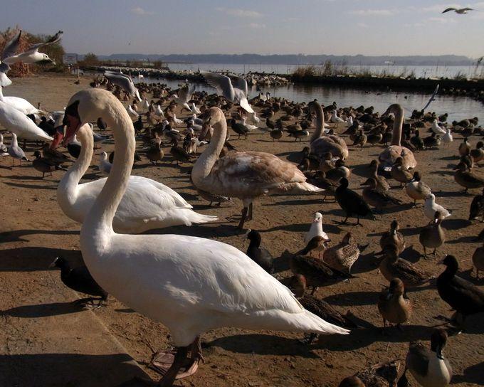冬の使者、白鳥が訪れる「白鳥の里」へ