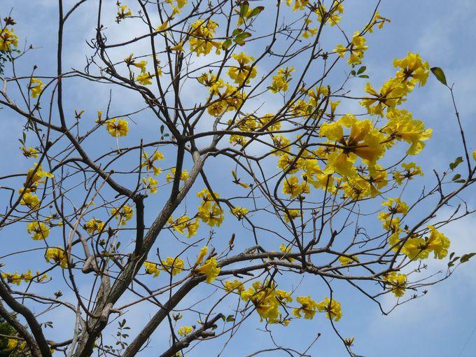 スポット3:黄色の花が青い空に眩いイペーの木