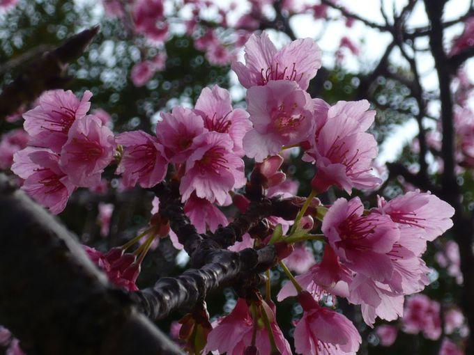 目の覚めるようなピンク!沖縄・国際通り近くの桜の名所「那覇・与儀公園」