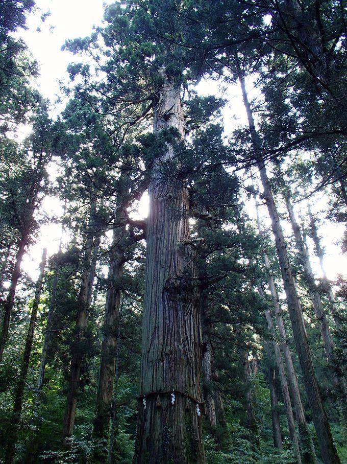 樹齢1000年の杉