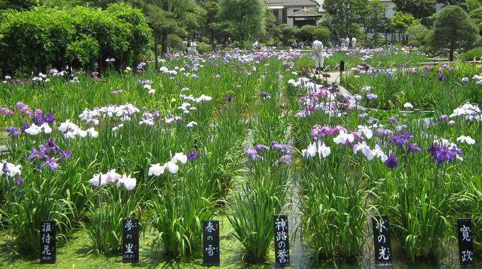 花菖蒲は江戸の粋のたまもの