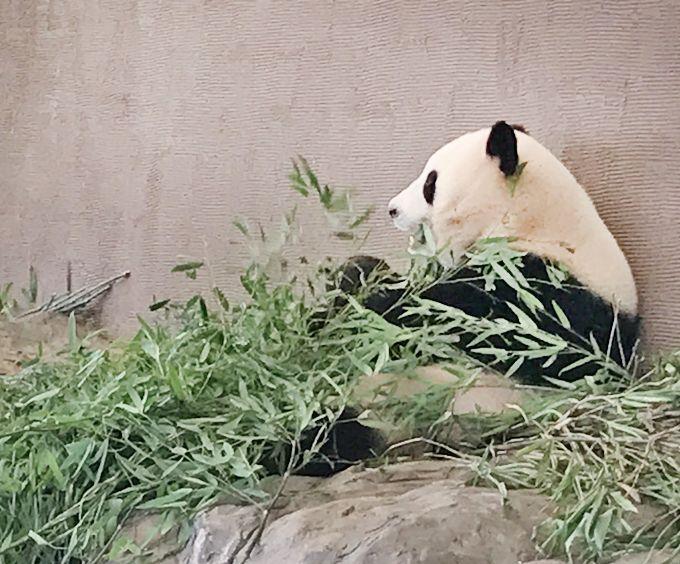 1歳になったばかりのパンダの赤ちゃんも見られる!