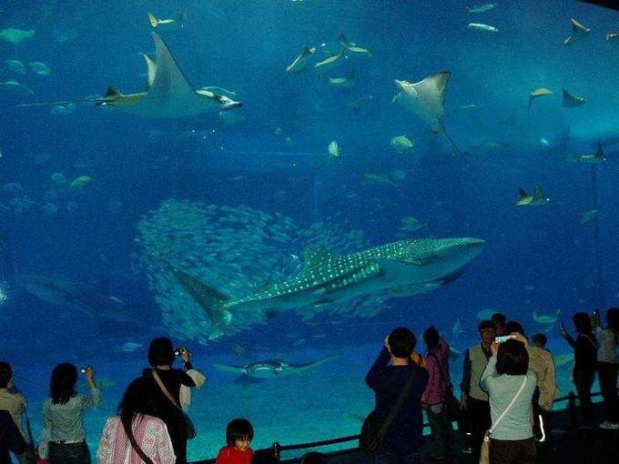 沖縄美ら海水族館で、ジンベイザメとご対面!