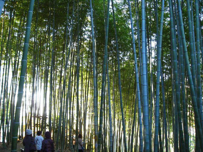 竹林の青さ