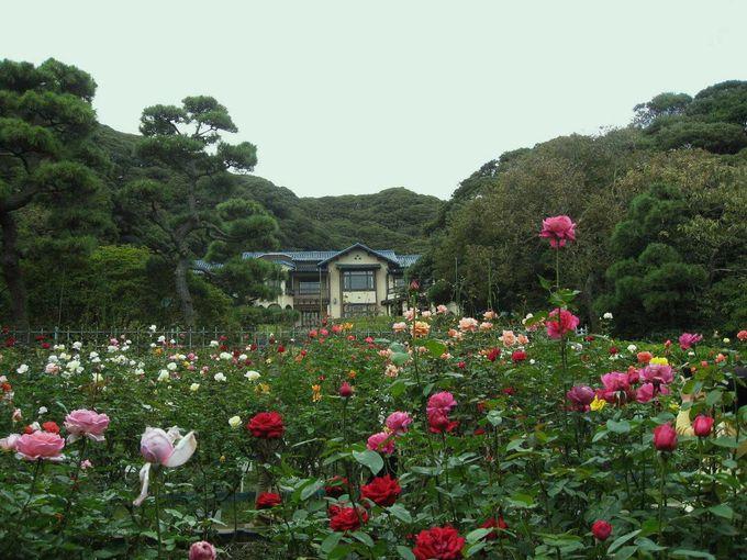 上品に香る庭園のバラたち