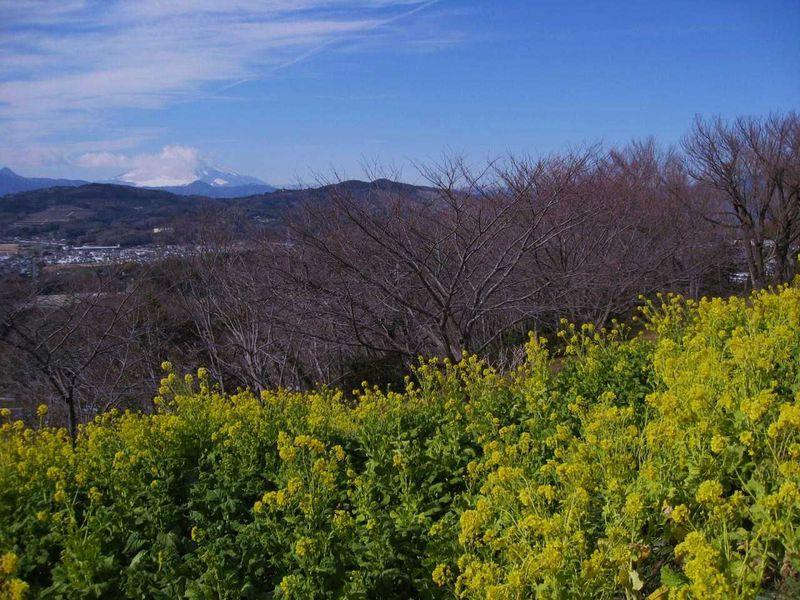 秋は「ざる菊」、冬に咲く「菜の花」はなんと富士山とのコラボも楽しめる〜二宮〜
