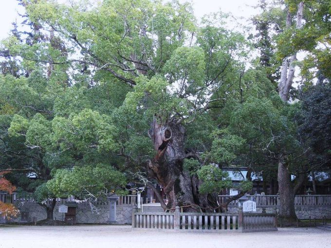 楠は天然記念物