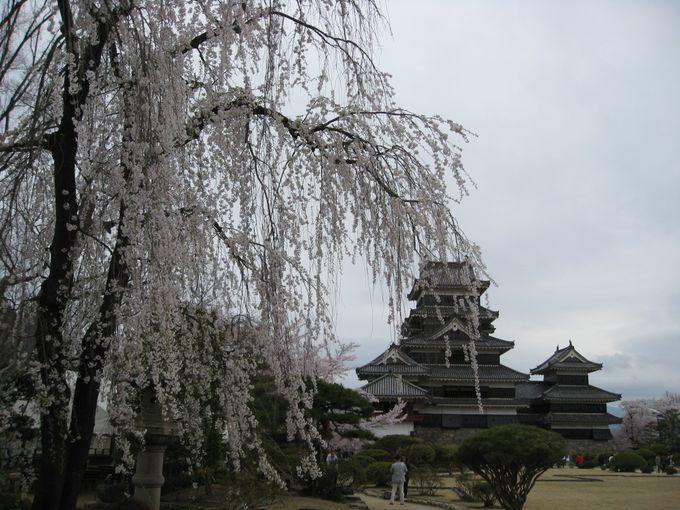 北アルプスの風を感じる、松本城の枝垂れ桜
