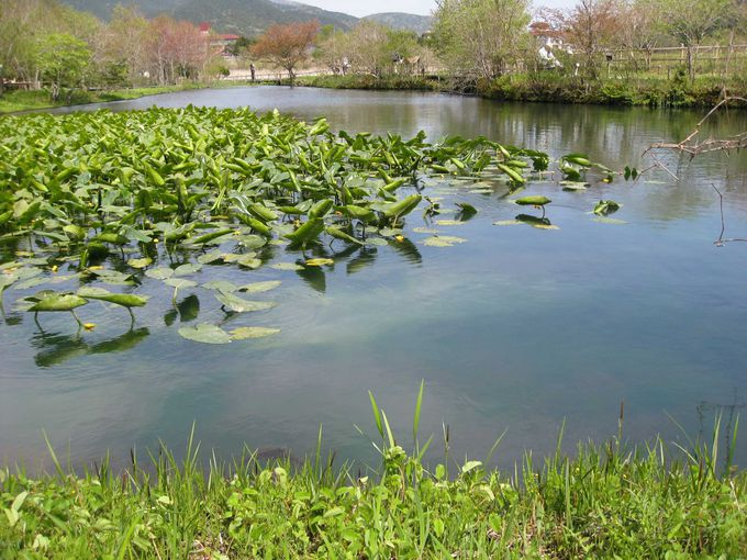 日本各地の湿原の花々も咲いています