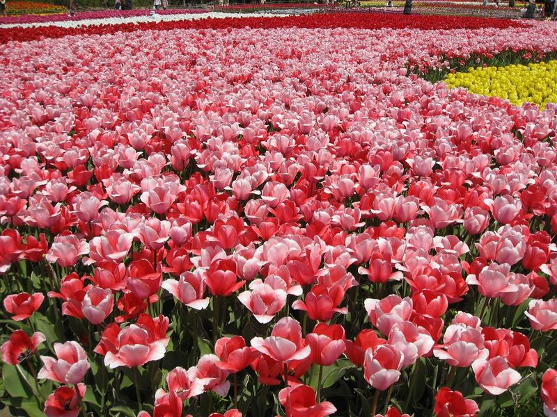 春を体感!国内のチューリップ畑が広がる名所スポット10選【2021】