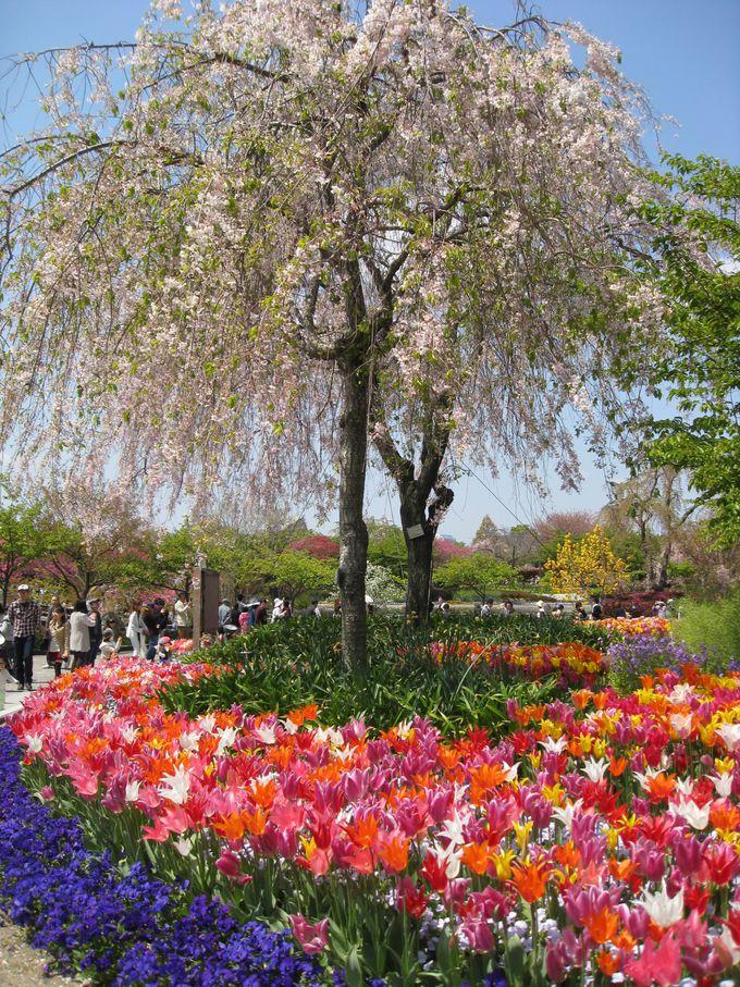 枝垂れ桜とコラボで