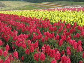 色とりどりの花畑が広がる感動の美瑛「四季彩の丘」