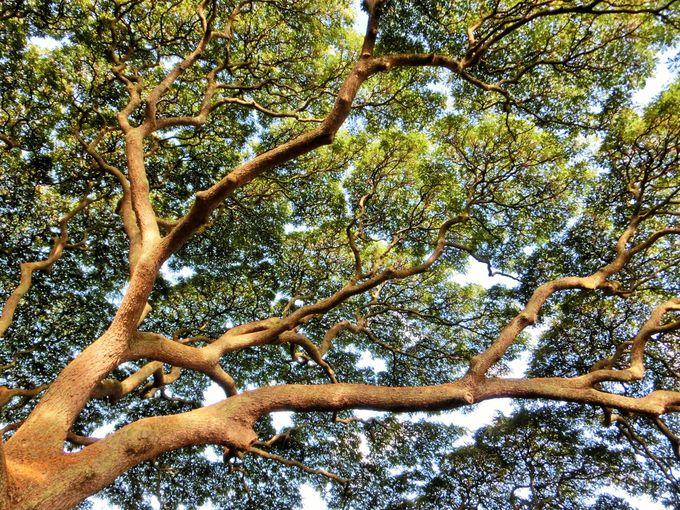 この木の形は自然のまま