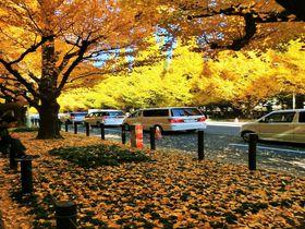 眩しいほどの黄金色に染まる!明治神宮外苑のいちょう並木