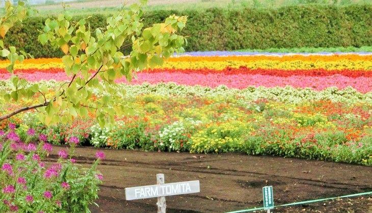 お花の絨毯!「秋の彩りの畑」